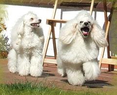 Die glücklichen Eltern Ypsi Lon der schwarze Quirl & E`Loisa der schwarze Quirl (links)