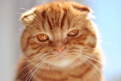 Scottish Fold, Foto: PhotoPin