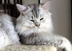 Black-silver ticked-tabby, Bildquelle: mywaycats.de