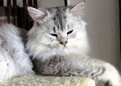 Black-silver ticked-tabby, Bildquelle: Christiane
