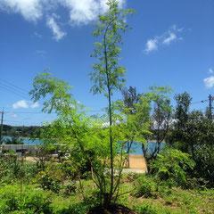 モリンガのさし木