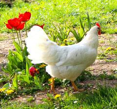 Liebe Gäste, auf Wunsch täglich ein frisches Bio - Ei von unseren freilaufenden Hühnern.