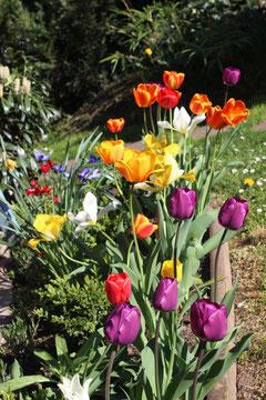 Herrliche Tulpenblüte vor der Südterrasse im Frühjahr.