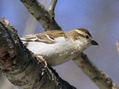 ・♀ 2003年5月1日 日光湯元 コゲラも混じって、雄と雌が群れていた。   雌は、白い眉斑が特徴です。