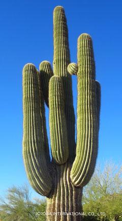 ♔ Saguaro Cactus サワロ カクタス
