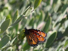 ♔ 原種ホホバとQueen (butterfly) 於: 原種ホホバの聖地アリゾナ州ハクアハラヴァレー
