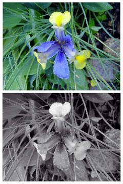 ... als die Blumen ihre Farbe verloren