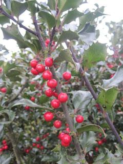 Leuchtend rote Beeren an der Stechpalme