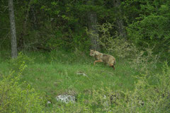 un loup sur l'herbe verte qui entre dans la forêt
