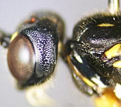 キスジクチキヒメバチ Cnastis vulgaris の頬 (Poemeniini族の特徴であるやすり状の歯が見える)