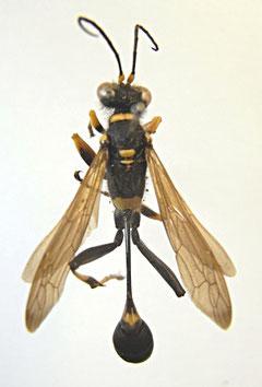 アメリカジカバチ(アナバチ科)