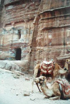 Kamele - der wertvollste Besitz der Beduinen