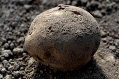無農薬野菜 イモ スリーエフ農法