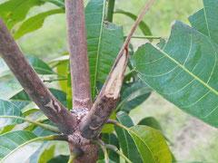 台風で枝が折れたギョクブンマンゴー