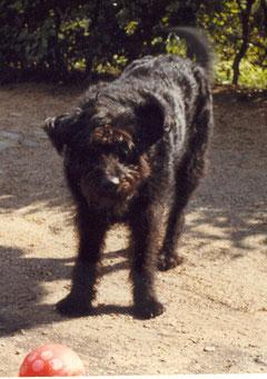 Senta (Schäferhund/Schnautzer/Mix)wurde 9 Jahre alt