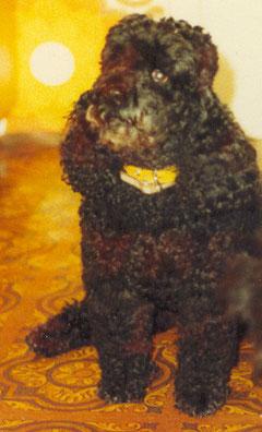 Nico (Pudel) wurde 9 1/2 Jahre alt