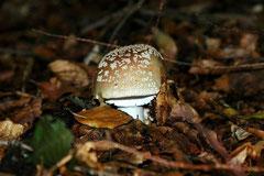 Herbstliche Motive: Pilze