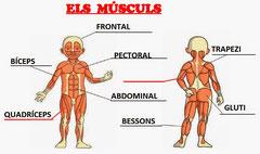 El cos humà: els músculs