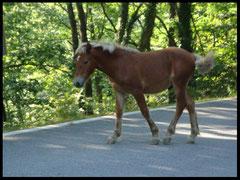 potiock ( cheval sauvage )