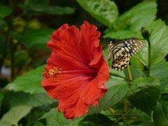 Hibiskus mit Schmetterling