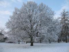 Linde im Winter (Foto: Wolfgang Voigt)