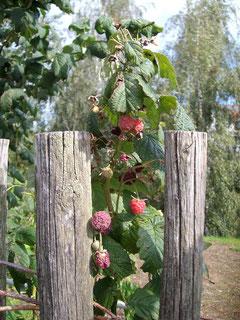 Himberren wachsen über einen Holzzaun