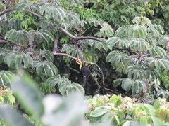 Ein Regenbogentukan ( Ramphastos sulfuratus)