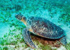 turtle guadeloupe