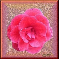 Rose auf Glas