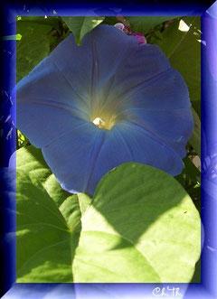 blaue Bechermalve