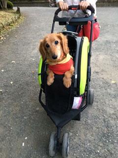 たくさん歩けないのでカートに乗るのが大好き