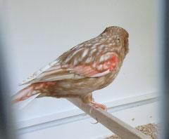NZ 1017 Phaeo rot mosaik T1