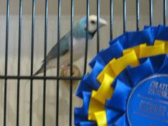 Siegervogel Gouldamadine rk, bl, wb, 93 Pkt.
