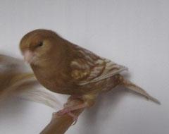 Phaeo gelb schimmel Weibchen