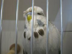Siegervogel Schau WS grau