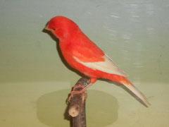 Rot intensiv weißflügel 91 Pkt. Züchter: Oelzelt Gerti