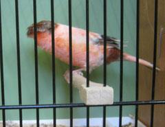 Stafford corona Siegevogel Züchter: Mitterlehner G.