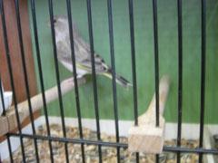 Grünfink achat Weibchen 93 Pkt. Züchter: Müllner M.