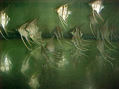 698213 Pterophyllum sp. Surinam Altum