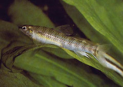 Nannacharax fasciatus