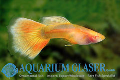 419099 Guppy Yellow Taxi Glass Belly, Самец