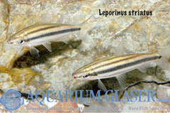 Leporinus striatus