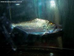 291805 Serrasalmus elongatus  10-12 cm