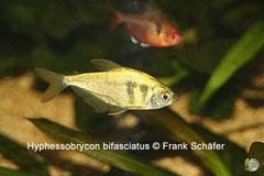 Hyphessobrycon bifasciatus