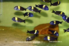Tropheus duboisi Maswa F2