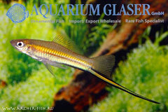 420164 Xiphophorus kallmani, Самец