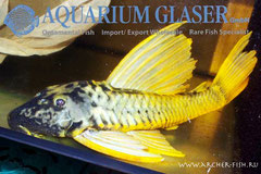 262658 Hypostomus luteus Super Gold