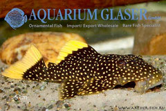 L81N-1 Baryancistrus sp.NEW STARDUST
