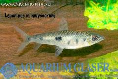 265863 Leporinus muyscorum