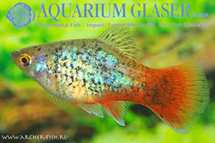 442653 Platy Red Tail Green Leopard, Самка